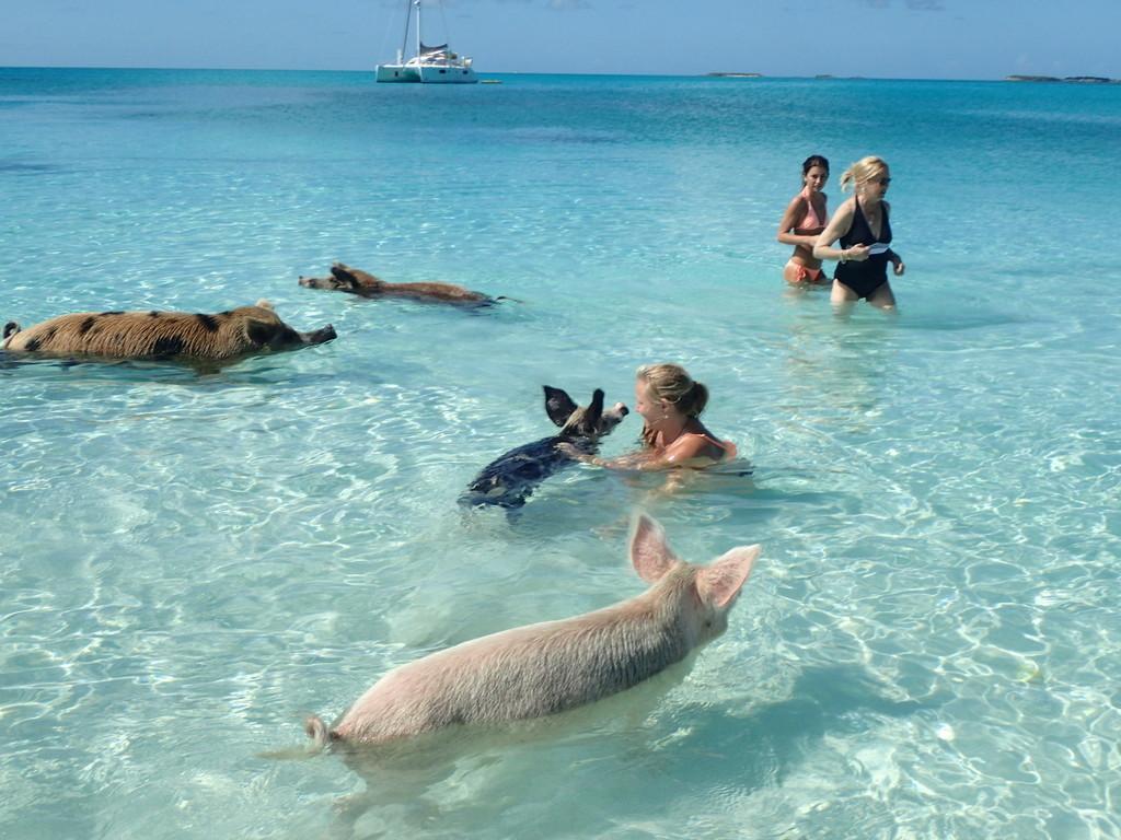 Swimming Pigs - The Sayle Point House Eleuthera Bahamas