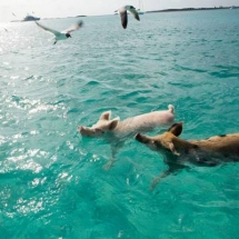 exum_swimming_pigs_065